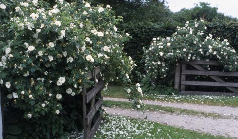 Haveindretning i sommerhushave og ved siddepladser.buskroser